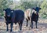 Thompson Yearling Bulls ready for work, conditioned & fertility tested