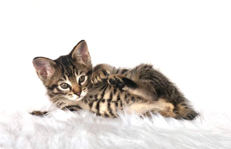Brown Spotted Savannah kitten