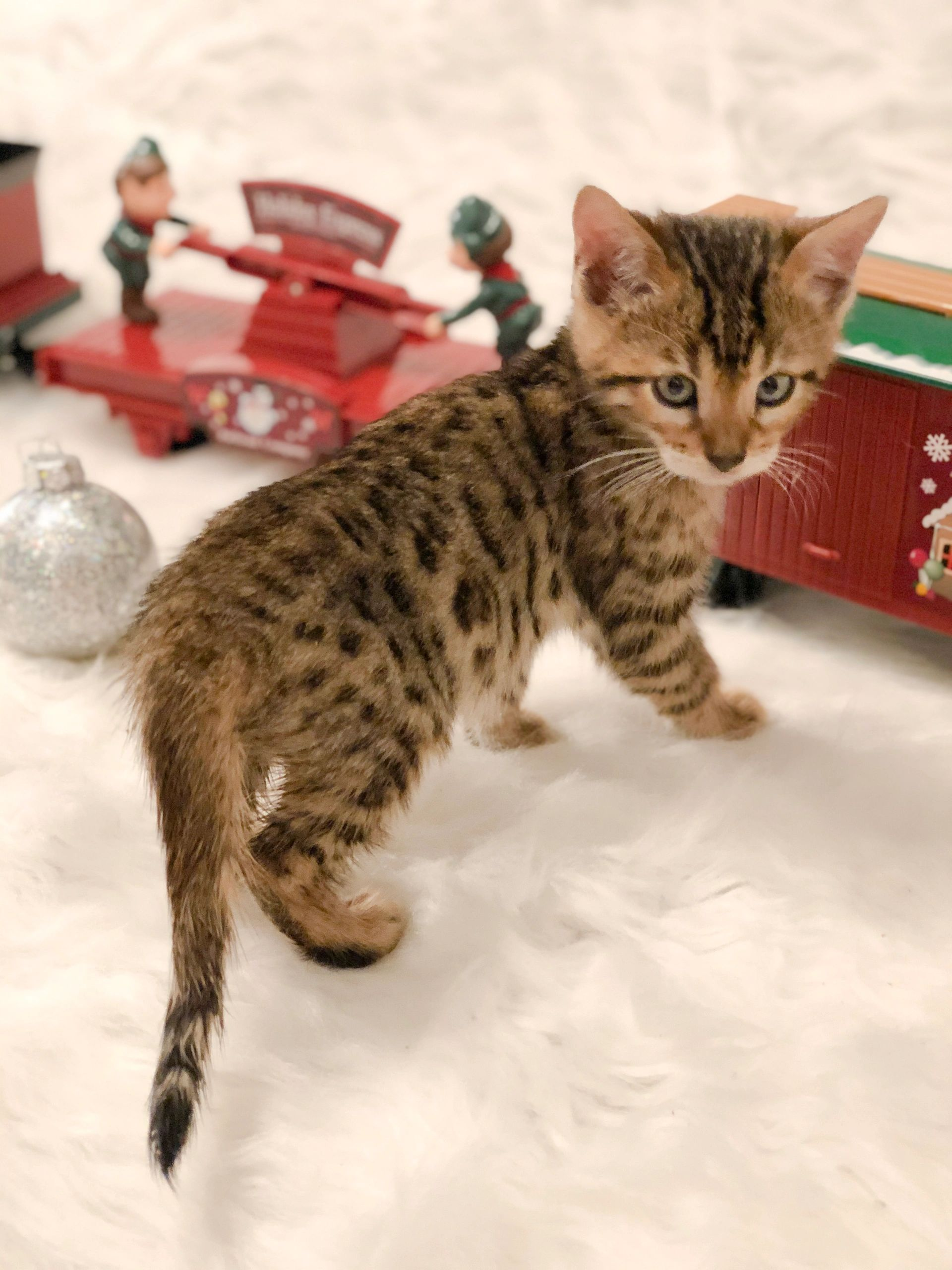 Brown spotted, Bengal kitten, kitten for sale, male, Columbus, Ohio