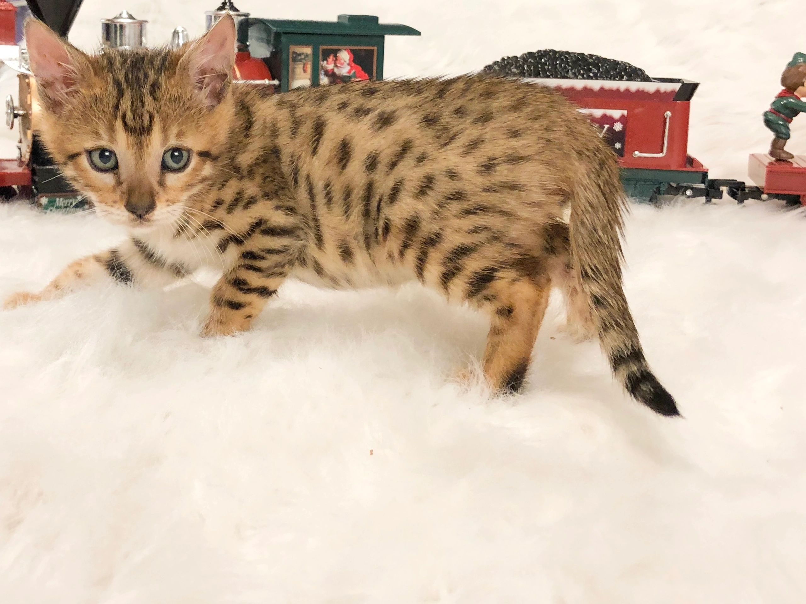 Brown spotted, Bengal kitten, for sale, male, Columbus, Ohio