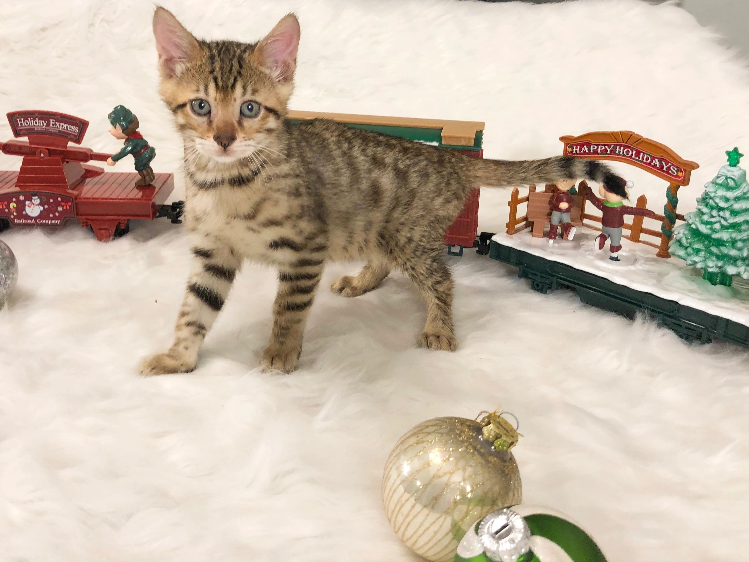 brown spotted, Bengal kitten, for sale, Ohio