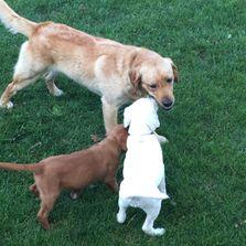 Silver Feathers Labradors Puppies Puppies Pets Labrador