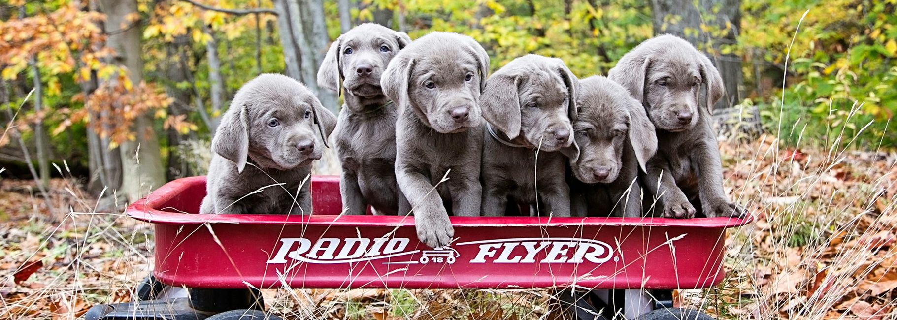 Silver Feathers Labradors Puppies Puppies Pets Labrador