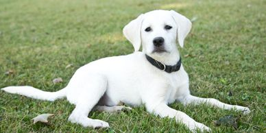 Worley's Silver Feathers Labradors