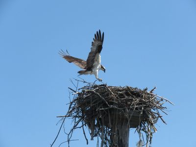 An osprey lands in an unkempt nest with talons out and wings spread.