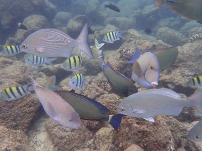 A variety of fish swim above a reef in Hawaii.
