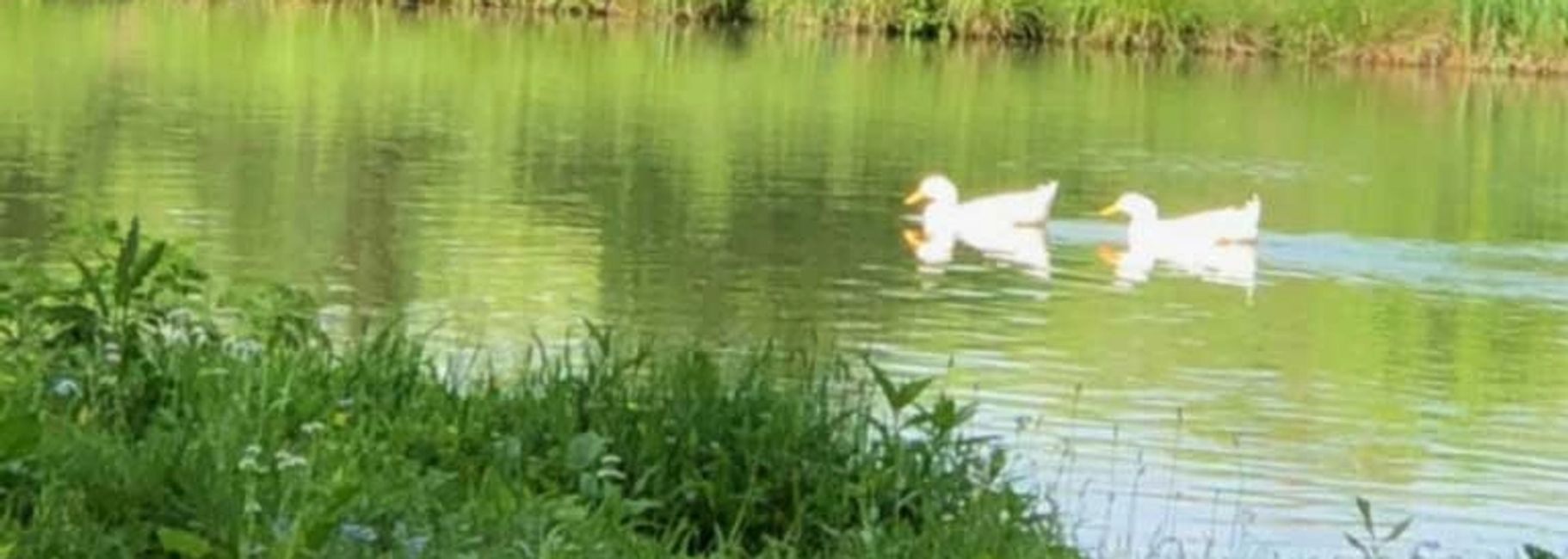 ducks in pond swimming