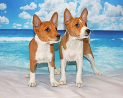 Two Basenji's Posing on the Beach.