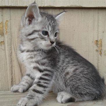 Emerald City Exotic Cats - Pet Adoption, Exotic Cats