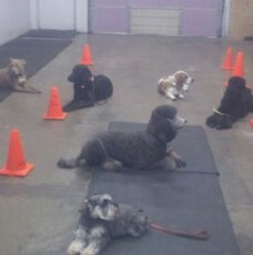 Basic obedience class. All dogs are relaxed in the down/stay lesson.