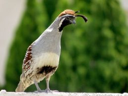 Gambel's Quail from Pixabay Photo and Images