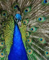India Blue Peafowl by skeeze for Pixaby