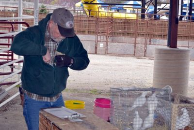 Ted Golka is tagging a cage of pigeons that will be sold to benefit the Scholarship Fund.