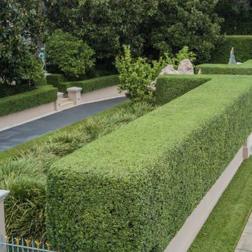 Hedges finely trimmed. They really enhance the look of the property.