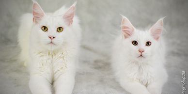 Stumptown Coons - Maine Coon Kittens, Maine Coon Cats