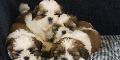 Litter of puppies that breeders will charge hundreds for each puppy