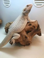 Milky Way | Bearded Dragons and Common Sense Care