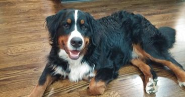 Gideon the Bernese Mountain Dog
