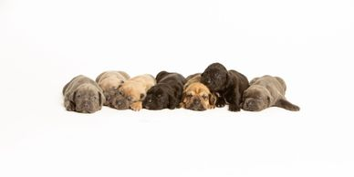 Amazing Paws Pet Store has Yorkies and Cane Corso puppies for sale in Houston Texas by breeders