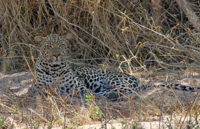 Leopards blend in so well making it difficult to spot them