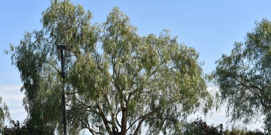 Tree Trimming in Lodi willows