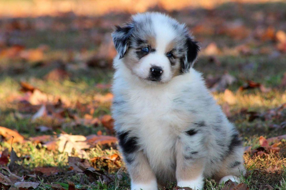 J B Mini Aussies Miniature Australian Shepherd Breeder Puppies