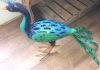 Pete the peacock 63cm £35.95