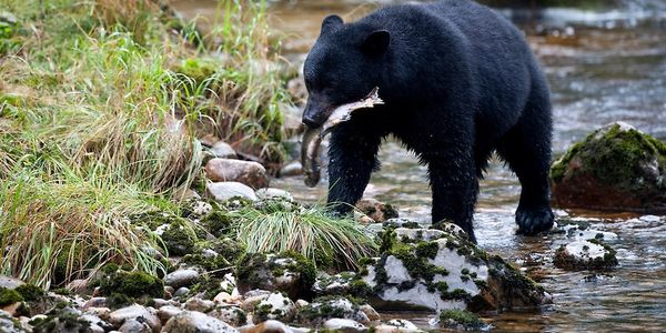 Black bear excursion with Reel Alaska Fishing Charters