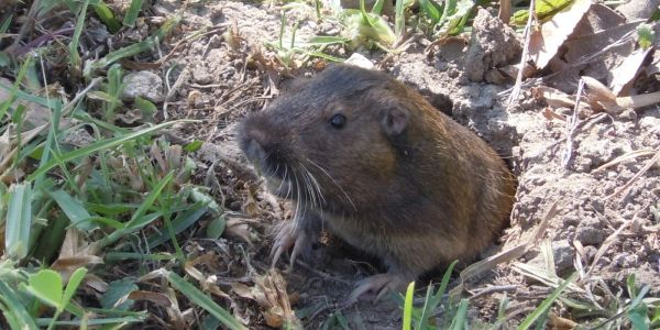 Gopher trapping and removal ct