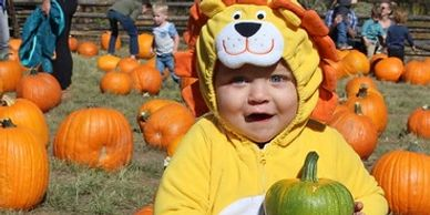 A young child wearing a lion costume holds a small green pumpkin in the pumpkin patch on the Littleton Museum grounds.