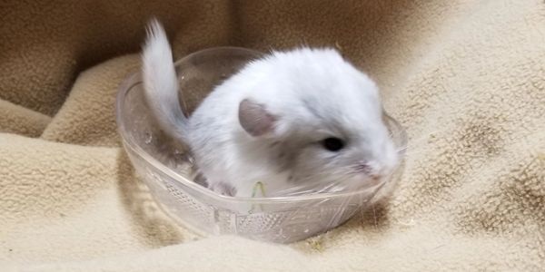 Blue Diamond Carrier White Violet Chinchillas for sale at adorablechins.com