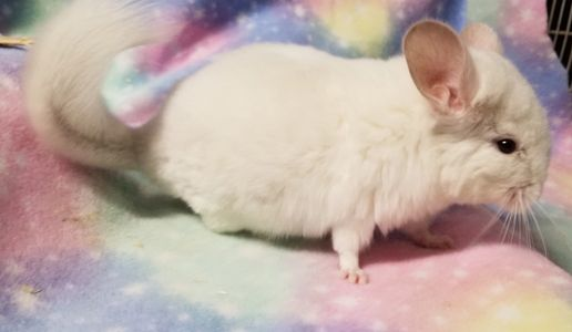 White chinchillas for sale at adorablechins.com