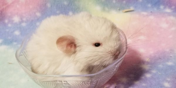 White chinchilla for sale at adorablechins.com