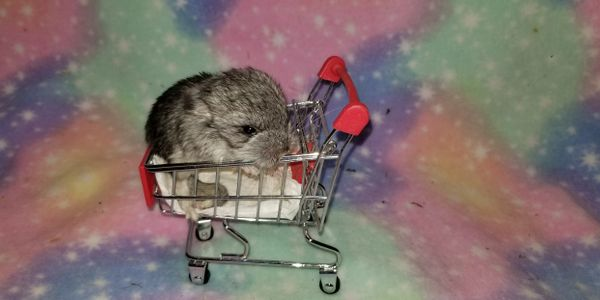 Gray Standard Chinchilla
