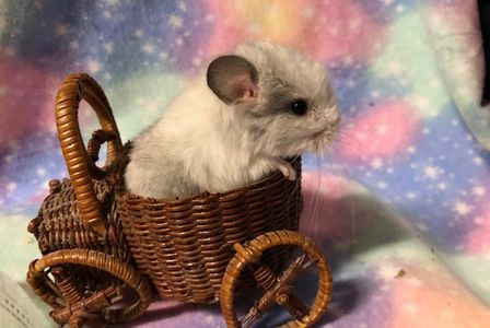 White Violet chinchilla for sale at adorablechins.com