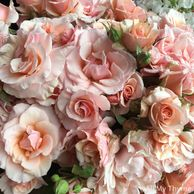 Mother of Pearl garden rose, peach pink