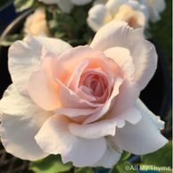 The Lady Gardener garden shrub rose by David Austin, rich apricot blooms to pale apricot, strong Tea fragrance