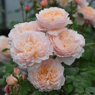 Moonlight in Paris garden rose, pale apricot pink, fruit spicy fragrance