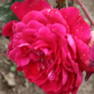 Quadra garden rose, dark pink to red, cold hardy to zone 3, climber