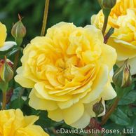 The Poet's Wife garden shrub rose by David Austin, cupped flowers of unfading yellow, rich fruity fragrance