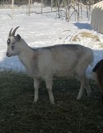 For sale goat sable saneen Maine