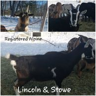 For sale ADGA Alpine goats Maine