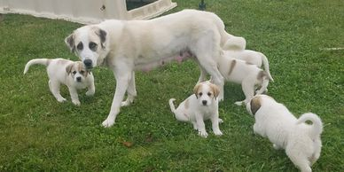 For sale livestock guardian dog LGD Great Pyrenees Anatolian Shepherd