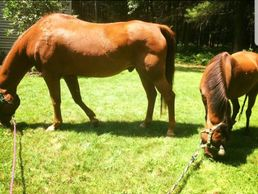 For sale maine quarter horse pony