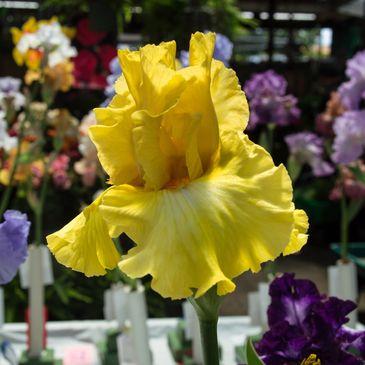 San Fernando Valley Iris Society