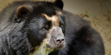 Andean or Spectacled Bear