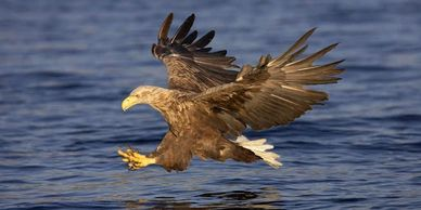 White-tailed Eagle in Scotland