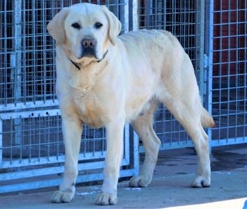 Jack Frost, English cream Labrador male