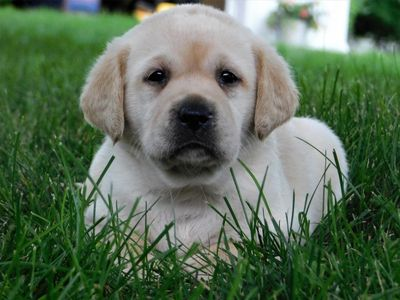 English yellow Labrador pup