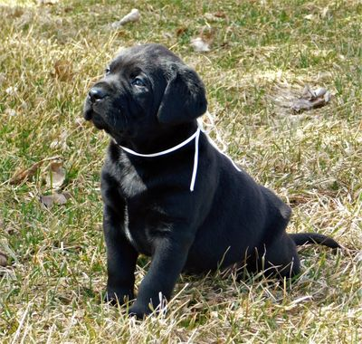 Past English Black Labrador Pup